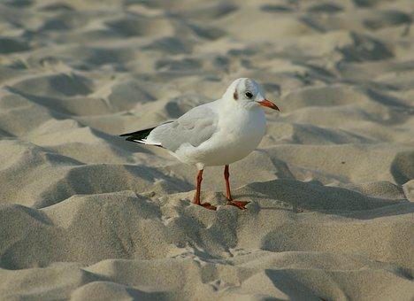 Seagull, śmieszka, Plumage, Winter, Bird, Sea, Beach