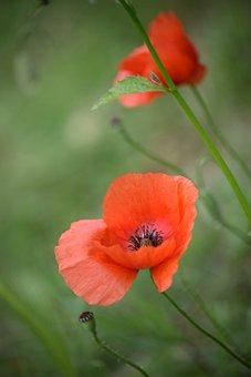 Poppy, Red, Summer, Nature, Flower, Spring, Field
