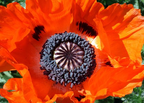 Poppy, Flower, Nature, Plant, Summer, Klatschmohn