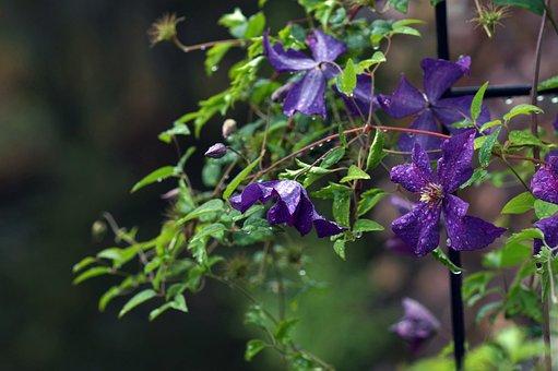 Garden, Vine, Kärhö, Clematis, Flower, Bloom, Blue