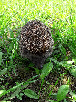 The Hedgehog, Cute, Animal, Barbed, Mammal, Animals