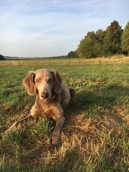 Dog, Weimaraner, Bitch, Nature, Meadow, Walk, Autumn