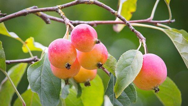 Embellishment, Autumn, Apple, Leaves, Fruits, Branch