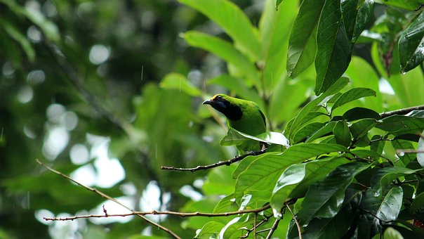 Bird, Leafbird, Leaf, Green, Golden, Blue, Black, Head