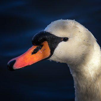 Swan, Nature, Animal, Water, Bird, White, Lake, Waters