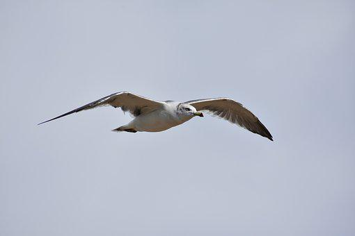 Animal, Sky, Bird, Wild Birds, Seabird, Sea Gull