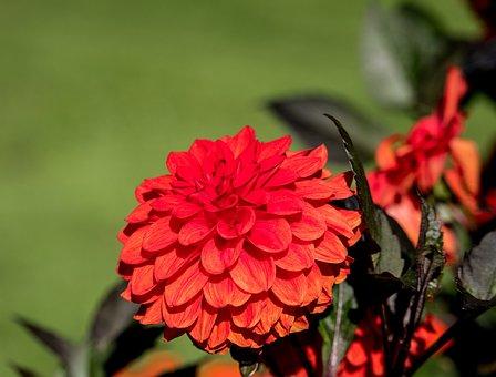 Dahlia, Blossom, Bloom, Plant, Flower, Ornamental Plant