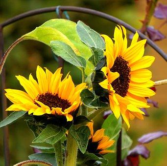 Sunflower, Yellow, Late Summer, Blossom, Bloom, Nature