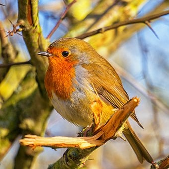 Robin, Bird, Nature, Songbird, Animal, Spring, Branch