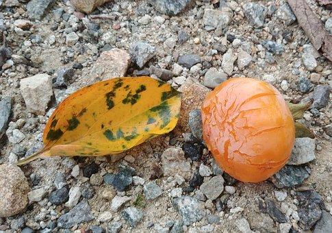Persimmon, Persimmon Leaf, Fallen, Leaves, Autumn, C