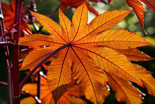 Castor Oil Plant, Ricinus Communis, Medicinal, Leaf