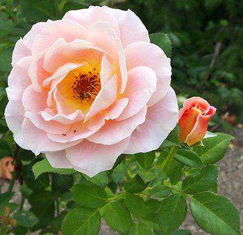 Rose Marie Height, Rosé - Apricot, Dieter Hausen