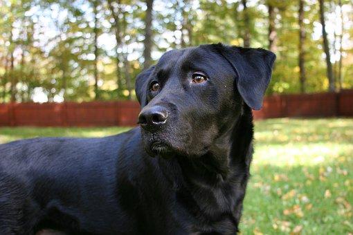 Fall Foliage, Dog, Labrador Retriever