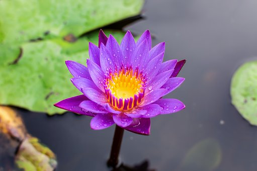 Blue Lotus Flower, Flower Lotus, Nature, Summer, Green