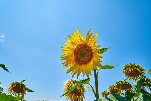Sunflower, Yellow, Solar, Field, Macro, Flower, Summer