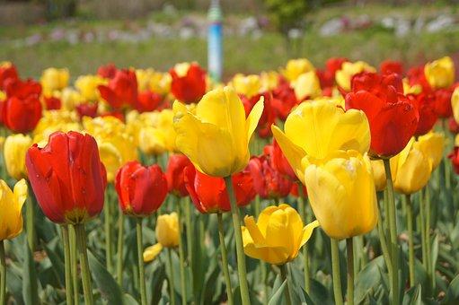Tulip, Flowering, Beautiful, Nature, Flowers, April