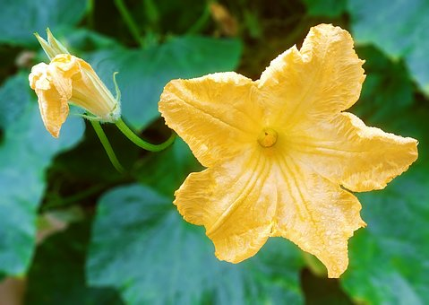 Pumpkin Flower, Flowers, Yellow Flower, Food, Luxury