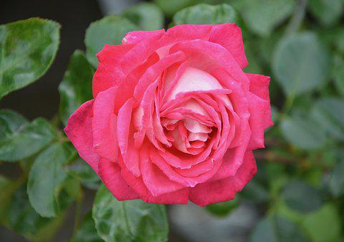 Pink, Rosebush, Flowers, Plants, Nature, Garden, Massif