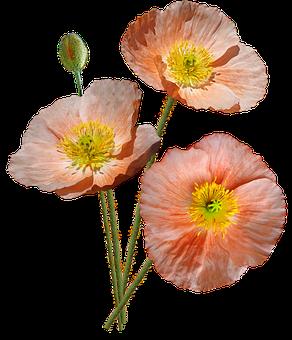 Poppies, Pink, Iceland, Flowers, Garden, Nature