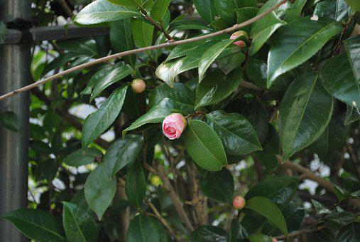 Flower, Camellia, Flowers, Natural, Plant, Pink
