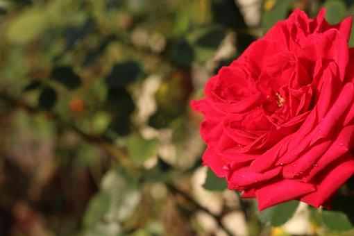 Pink, Nature, Flower, Flowers, Summer, Plants, Romantic