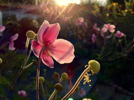 Flower, Garden, Autumn, Pink, Rays