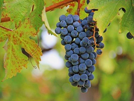 Grapes, Wine, Rebstock, Vine, Fruit, Winegrowing