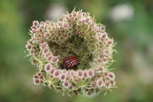 Shield Bug, Minstrel Bug, Graphosoma Lineatum
