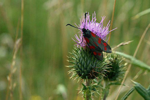 Insect, Butterfly, Mean Blood Droplets, Thistle