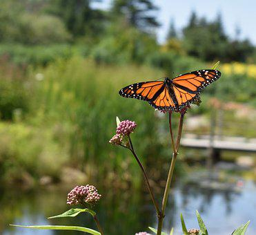 Monarch, Butterfly, Orange, Insect, Nature, Summer