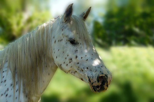 Horse, White, Brown Points, Knapstrupper, Head, Ride