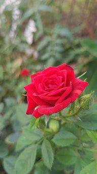 Rose, Flower, Nature, Romantic, Plant, Love, Red
