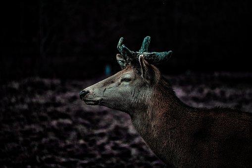 Deer, Portrait, Animal, Nature, Head, Fur, Mammal
