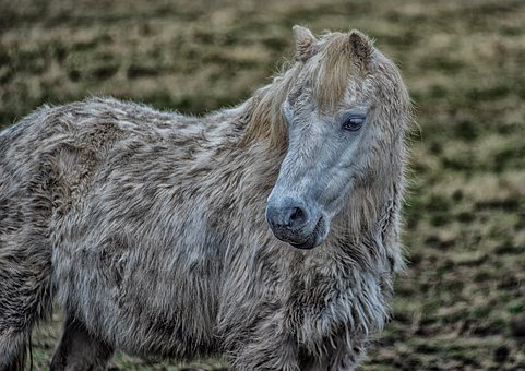 Pony, Horse, Animal, Nature, Cute, Mane, Mammal, Equine