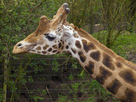 Giraffe, Neck, Animal, Mammal, Head, Wildlife, Tall