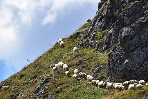 Sheep, Herd, Pyrénées, Mountain, Pastures