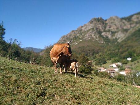 Cow, Veal, Asturias, Nature, Mountains