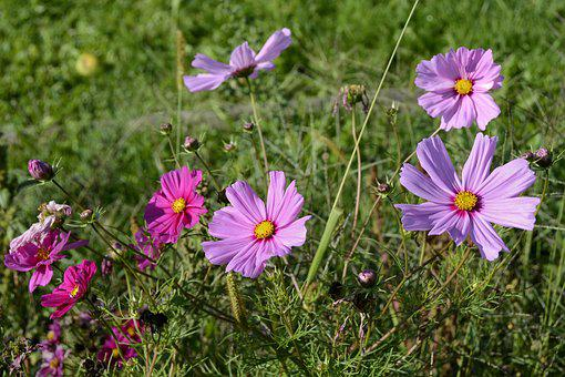 Cosmos, Blossom, Bloom, Nature, Cosmea, Plant, Flower