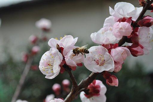 Bee, Flowers, Pesco, Flower, Nature, Pollen, Nectar