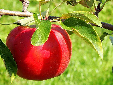 Apple, Red, Harvest, Thanksgiving, Orchard, Apfelernte
