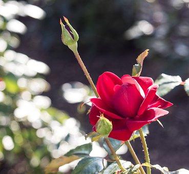 Rose, Blossom, Bloom, Plant, Flower, Ornamental Plant