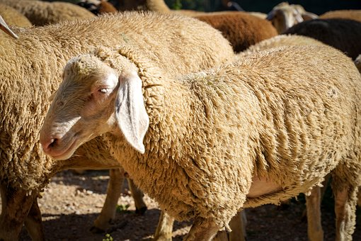 Sheep, Flock Of Sheep, Pasture, Agriculture, Meadow