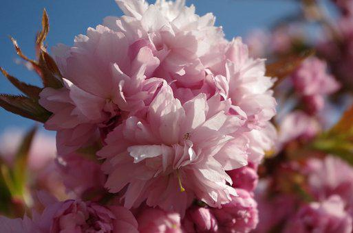 Flower, Blossom, Pink, Spring, Cherry, Sunshine, Sunny