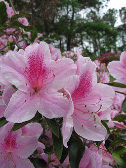 Myrtle Beach, Pink Flowers, Hibiscus, Blossom