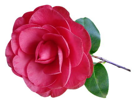 Camellia, Flower, Stem, Pink, Garden, Nature
