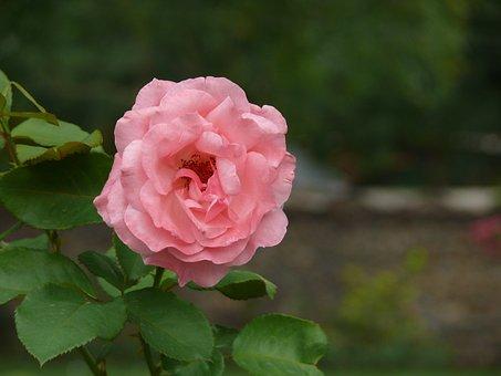 Rose, Garden, Pink