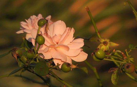 Rose, Blossom, Bloom, Pink, Close Up, Plant, Garden