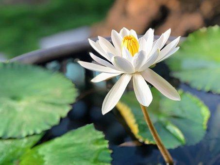 Lotus, White, Plant, Sunshine