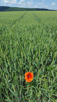 Cornfield, Nature, Poppy, Cereals, Field, Summer, Wheat