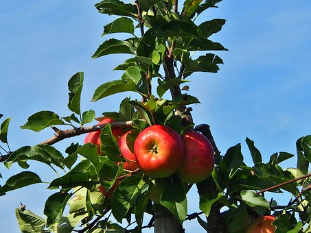 Apple, Red, Harvest Thanksgiving, Orchard, Apfelernte